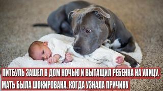 Питбуль герой Спас Ребёнка, но то, Как Он Это Сделал, Шокировало Мать (пес спасла человека)
