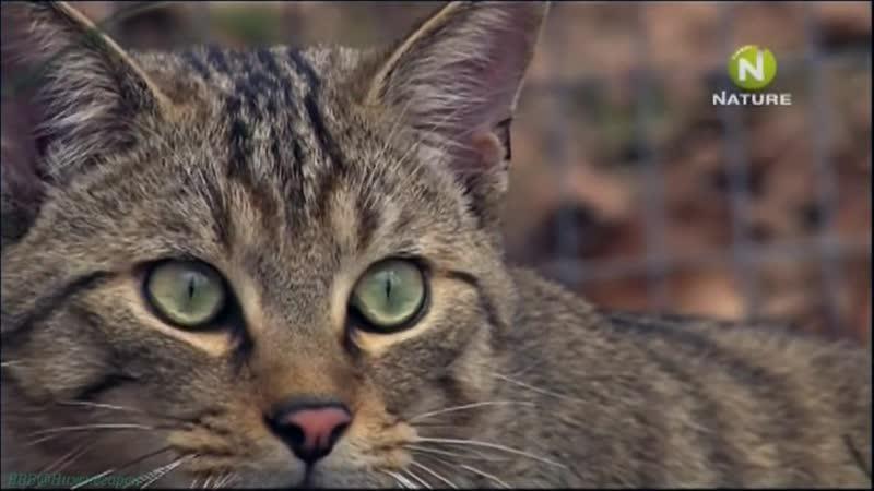 «Дикие кошки в лесах Германии» (Документальный, природа, животные, 2008)