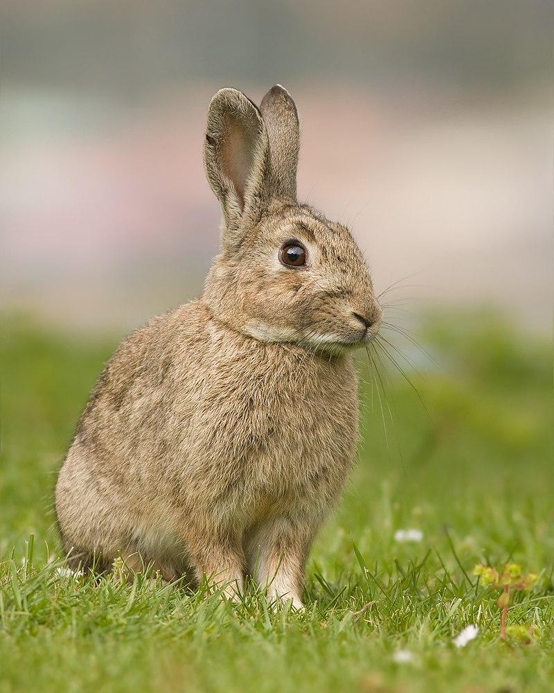 Дикий, или европейский кролик