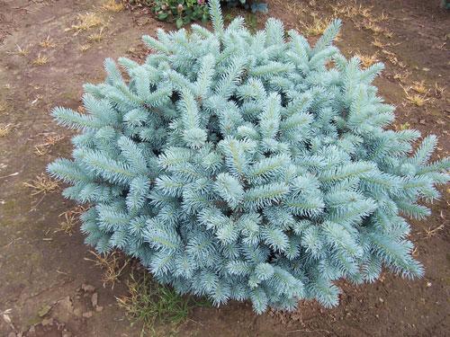 Ель колючая «Глаука Глобоза» (Picea pungens «Glauca Globosa»)