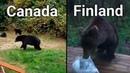 Bears In CANADA VS FINLAND (funny)
