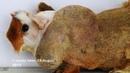 У морской свинки массивная опухоль в области левого плеча A guinea pig has a massive swelling on the left shoulder area
