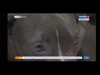 Репортаж телеканала Россия-1 о щенке питбультерьера