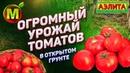 ПОКАЗЫВАЕМ! Урожайные Сорта Томатов для Открытого Грунта