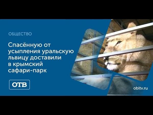 Спасённую от усыпления уральскую львицу доставили в крымский сафари парк