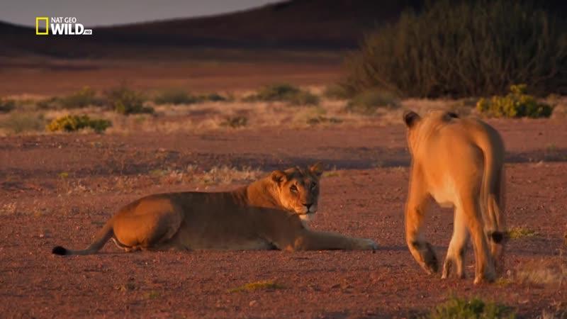 Короли на грани исчезновения Львы пустыни Намиб 2015 HD 720