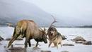 Những trận võ tỷ thí đáng xem đối đầu gây cấn nhất : Gấu Leo cây , Chó Sói hoang , Sư tử , Trâu Rừng