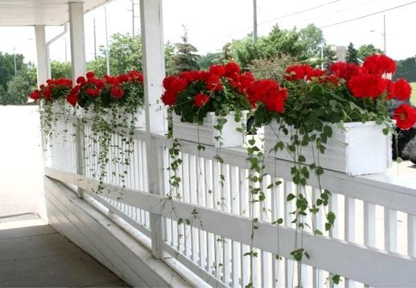 Ампельная герань Комнатные цветы, размещенные в подвесных кашпо, вносят в домашнюю атмосферу нотки особого, изысканного стиля. Розовые или красные, фиолетовые или сиреневые, белоснежные или