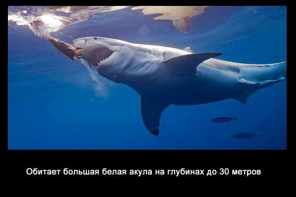 валтея - Интересные факты о акулах / Хищники морей.(Видео. Фото) ViGR8Am3hQM