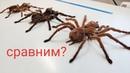 Будни фермы пауков птицеедов. Сравнение размеров больших пауков.