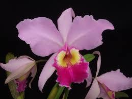 Орхидея Каттлея, изображение №12