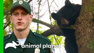 Three Bears Look For Food In Residential Area | North Woods Law