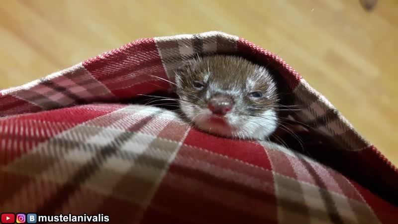 Травоядная ласка(Mustela nivalis) и 25 мышей-Graminivorous weasel(25 mice)