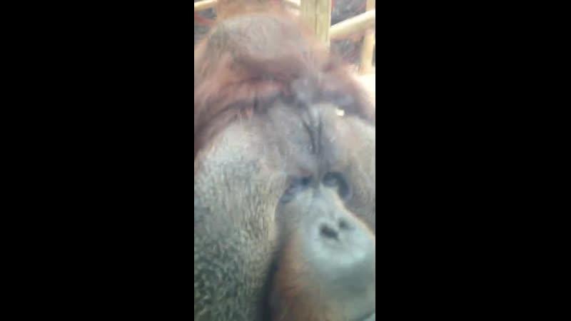 Орангутанг поцеловал живот беременной женщины TTl (Трогательно ) животные животных animal
