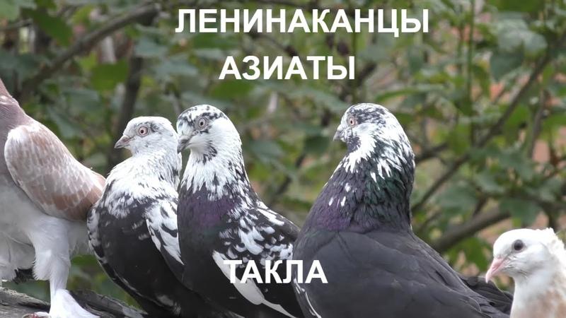 ГОЛУБИ Такла Ленинаканцы и Азиаты DOVES Takla Leninakans and Asians