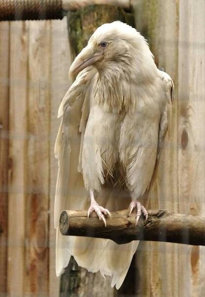 Ворон - альбинос