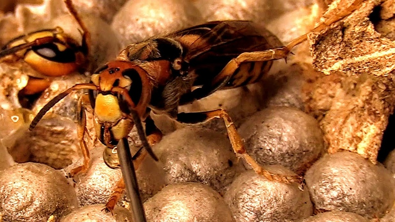 European Hornets Being Fed With a Needle Wasp Nest Observation