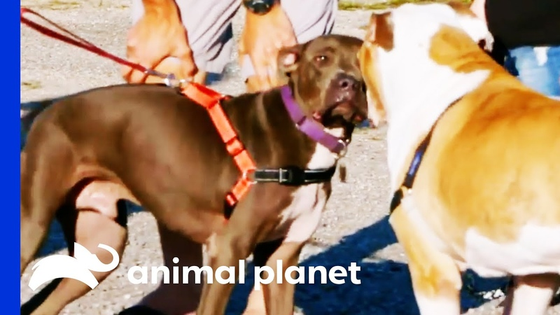 Pilgrim Gets A New Home With An Adorable Big Brother Pit Bulls Parolees