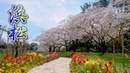 "SHIZUOKA【Cherry blossoms】""Somei-Yoshino""at Hamamatsu Flower Park 2020. 4K はままつフラワーパーク"