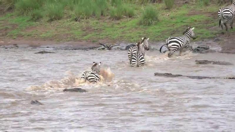 Great Migration River Crossing Masai Mara Kenya Zebras Wildebeests @LowisandLeakey Safaris