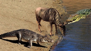 Crocodile & Wildebeest Great Battle   Herd of Crocodiles Hunt Wild Extremely Dangerous