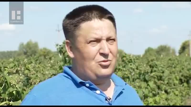 Фермер из Умёта поделился секретом кустистого и плодородного малинника 2019 г