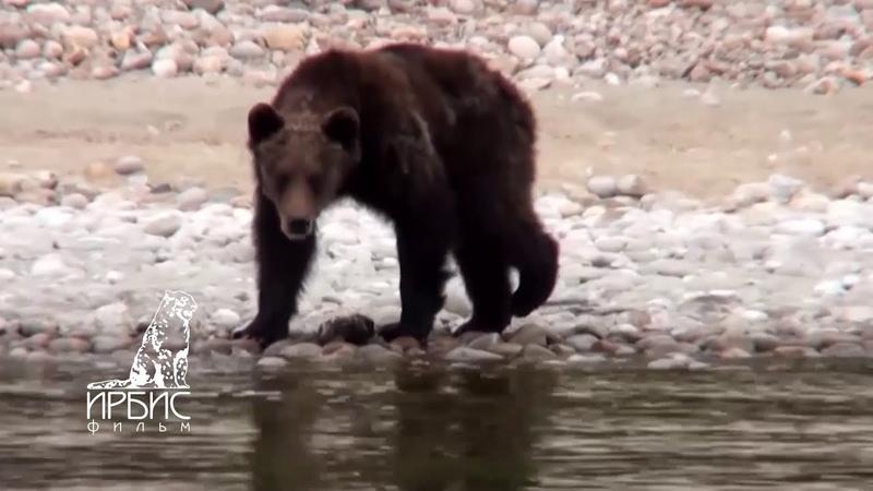СЕВЕРНЫЙ БАЙКАЛ Баргузинский заповедник Бурятия Голодные медведи