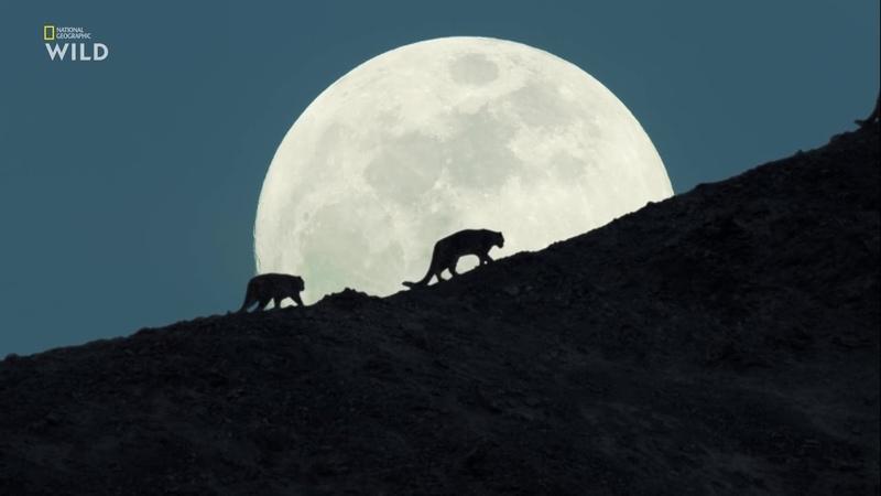 National Geographic Дикие кошки Индии Королевство большой кошки документальный фильм