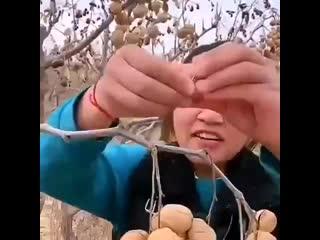 Вот так растут грецкие орехи в Китае - Идеи для сада | дача | ландшафт| огород