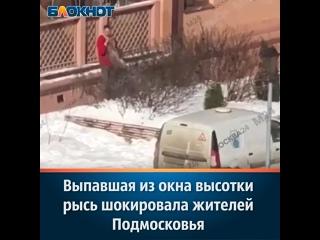 Выпавшая из окна высотки рысь шокировала жителей Подмосковья