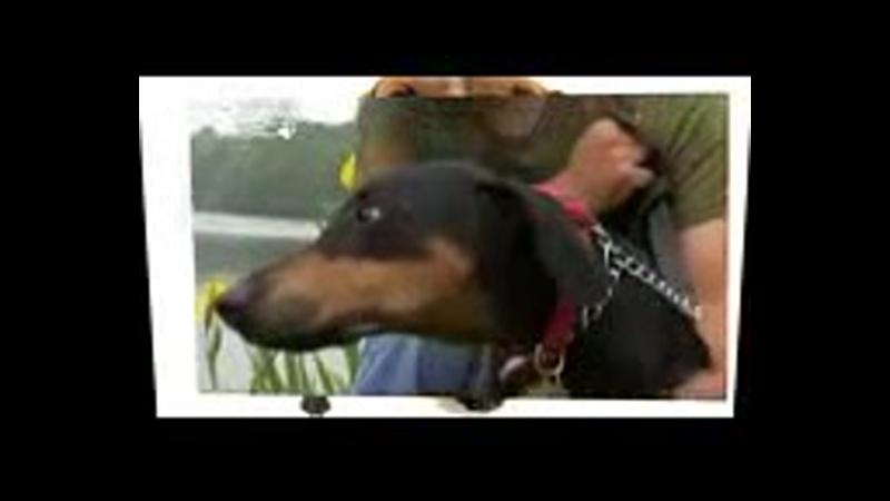 Чёрно подпалый кунхаунд енотовая собака все породы собак 101 dogs Введение в собаковедение