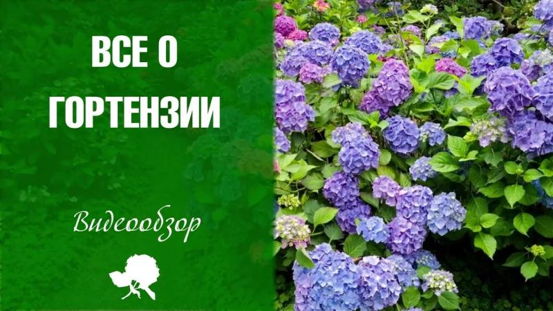 Гортензия покупка посадка и уход 🌺 как правильно выращивать цветок
