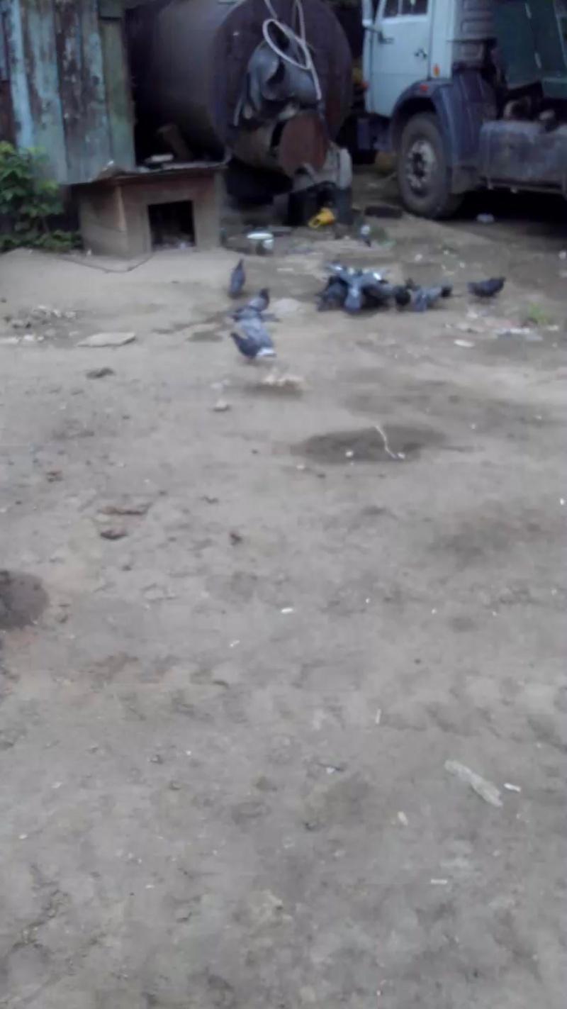 Жрут голуби собачьи сухой корм..