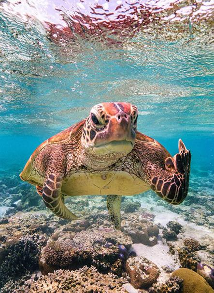 Определен победитель ежегодной премии Comedy Wildlife Photography Awards, вручаемой за самые смешные фотографии животных. Им стал фотограф Марк Фицпатрик, сделавший снимок черепахи Терри у острова Леди-Эллиот в Австралии.