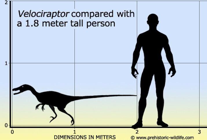 Сравнение человека и велоцираптора