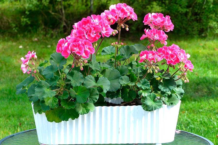 Однолетние цветы для сада, пеларгония или герань домашняя