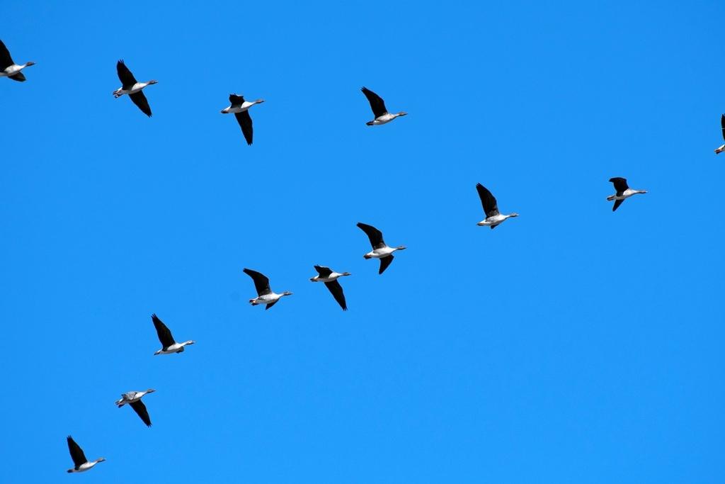 гуси возвращаются в Татарстан
