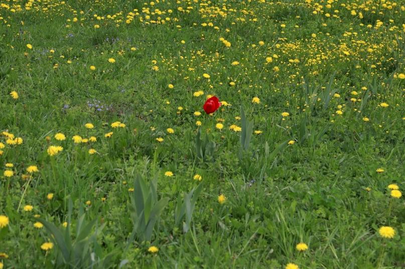 Одуванчики и мак — майские цветы