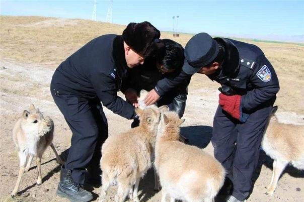 «Детский сад» для тибетских антилоп на северо-западе Китая На базе защиты природы им. Сонама Дацзе в заповеднике Кукушили провинции Цинхай в Северо-Западном Китае беззаботно живут восемь
