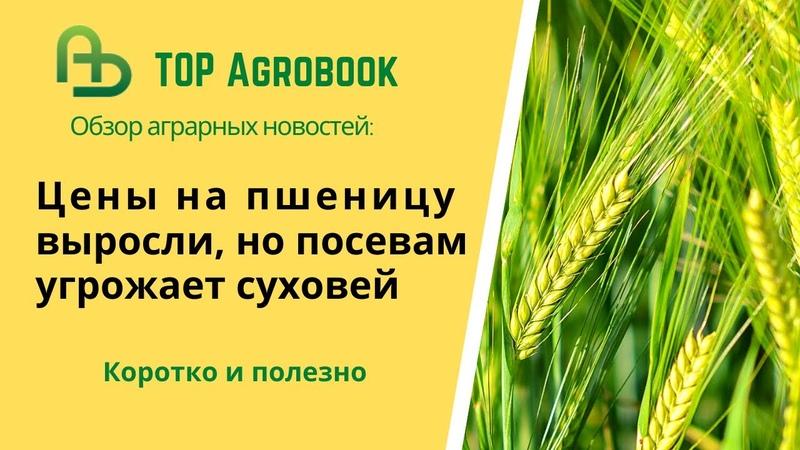 Цены на пшеницу выросли но посевам угрожает суховей TOPAgrobook обзор аграрных новостей