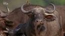 Африканские охотники 3 сезон 6 серия Схватка буйволов
