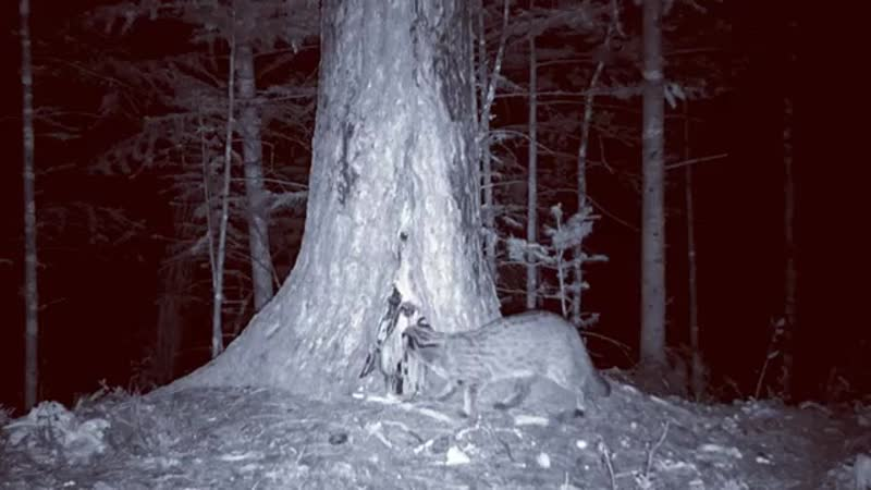 Редкие кадры дальневосточный лесной кот