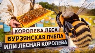 Бурзянская пчела или лесная королева | @Русское географическое общество