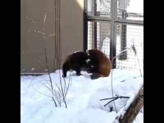 Красные панды играют)