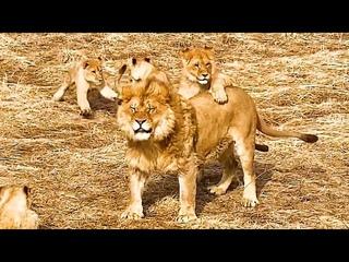Гефест - лучший папа львят. Самый внимательный и добрый к своим детям! Малыши в прайде с папой !