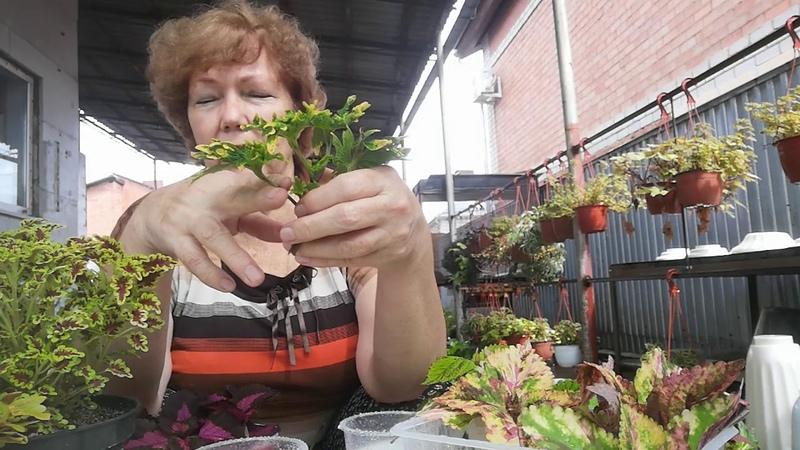 Как сохранить зимой колеусы вегетативные