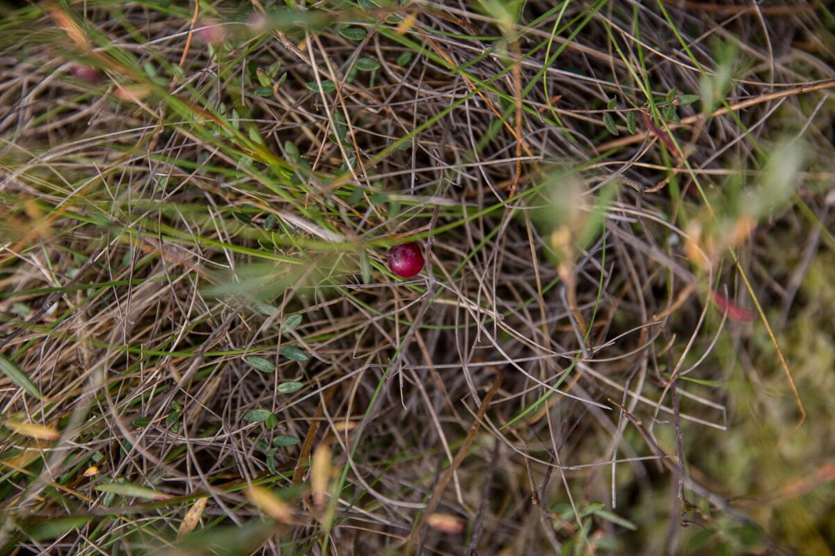 Как досрочный сбор клюквы уничтожает белорусские болота