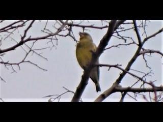 Биосфера. Птичка не определена. Предельный зум. Некоторые детали отсутствуют. Думаю чижик или щегол